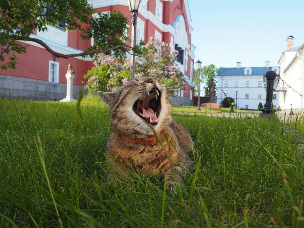 Valaam cat